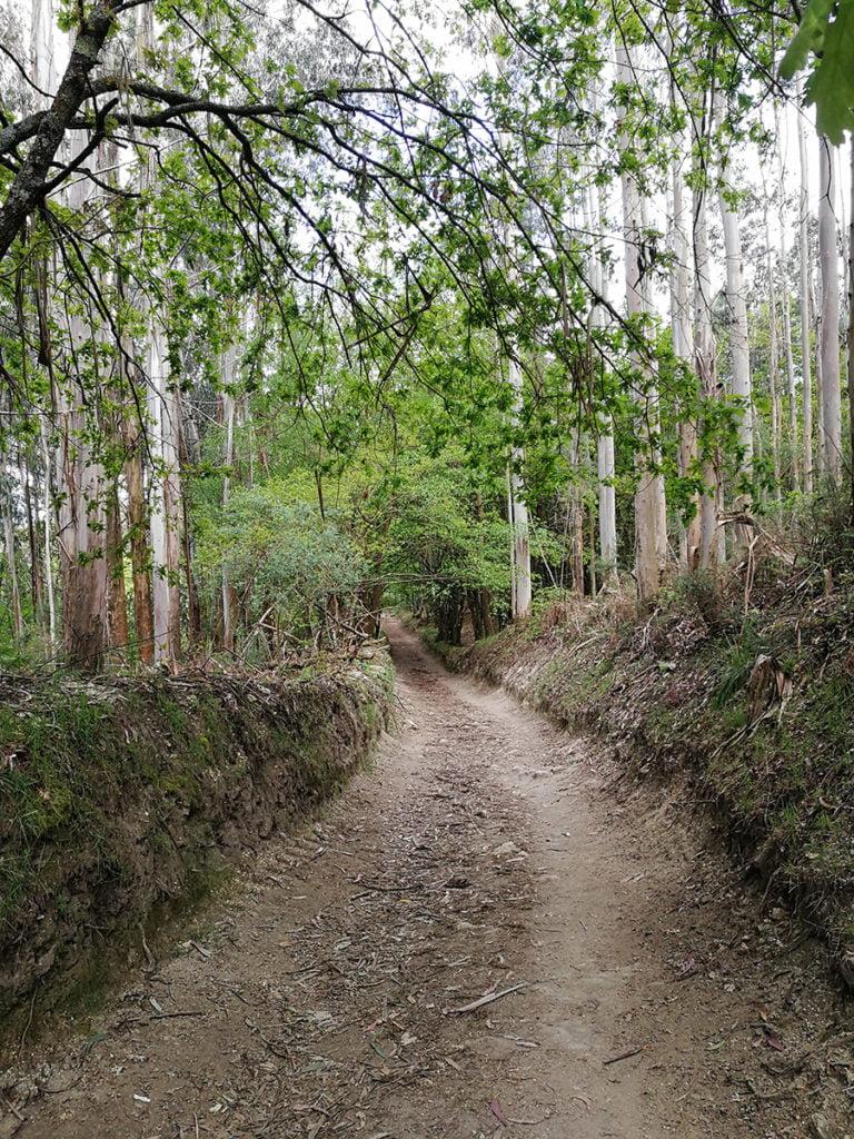 Bosques de eucaliptos en el Camino de Santiago